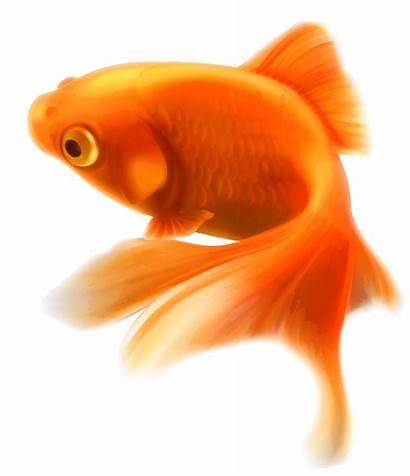 Fish Tropical Ornamental Aquarium Goldfish Transparent Pngio