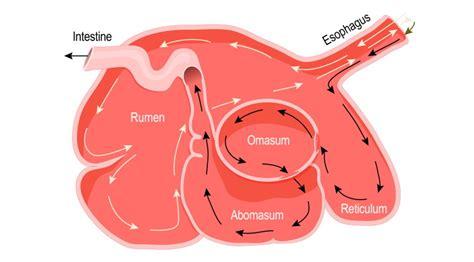 digestive ruminant system mammals herbivore herbivores carnivores eat