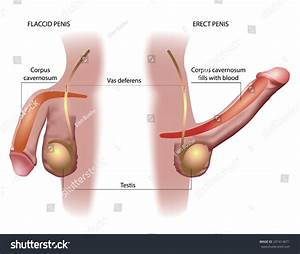Male Penis Anatomy Stock Illustration 297414671