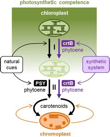 Biogenesis in the largest biology dictionary online. Synthetic biogenesis of chromoplasts from leaf ...