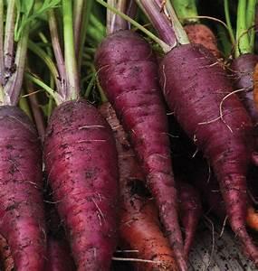 Cosmic Purple Organic Carrot Seeds