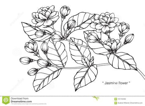 Jasmine Flower Drawing Easy Step By Step