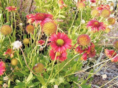 seeds wildflower plant email save tucson
