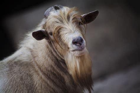 goats beard here is a list of 10 extremely good goat beards modern farmer