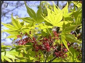 Ahorn Rote Blätter : bild f cherahorn japanischer ahorn acer palmatum foto bl tter rote bl ten ~ Eleganceandgraceweddings.com Haus und Dekorationen