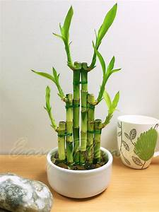 1 LUCKY BAMBOO RIBBON PLANT EVERGREEN INDOOR BONSAI IN ...