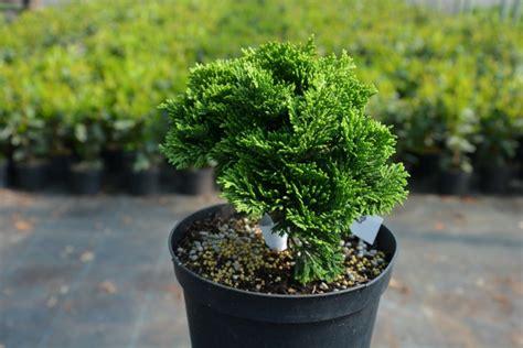 Kübelpflanzen Winterhart Immergrün by 5 Beispiele F 252 R Winterharte Balkonpflanzen