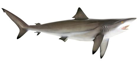blacktip shark fish replica mounted blacktip shark