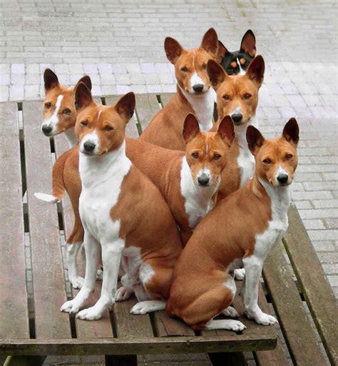basenji plemena psů