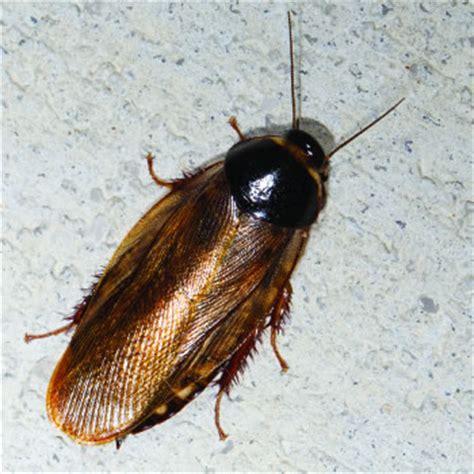 surinam cockroach catseye pest control