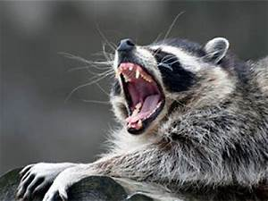 Raccoon with Rabies Found in Fifth Ward of New Brunswick ...