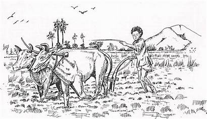 Rice Field Drawing Hmong Sketch Plowing Plant
