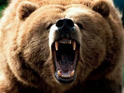 Bear Brown Wild There Bears Animal Eurasian
