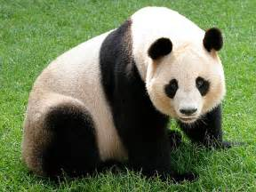 パンダ:Giant Panda-Endangered animals list-Our ...