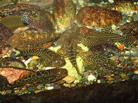 hillstream loaches  specialists  life   fast