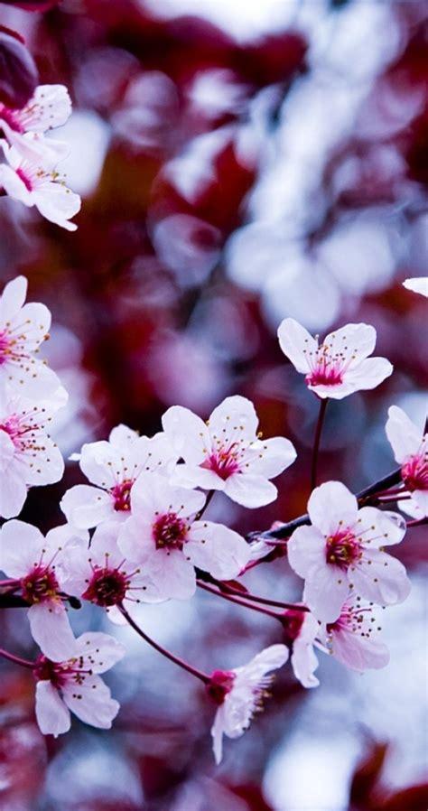 Bunga Sakura Gambar Bunga Cantik Untuk Wallpaper Hp