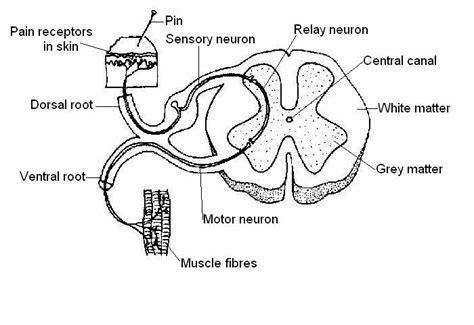 Diagram A Reflex Arc by Labelled Diagram Of A Reflex Arc Made By Creative Label