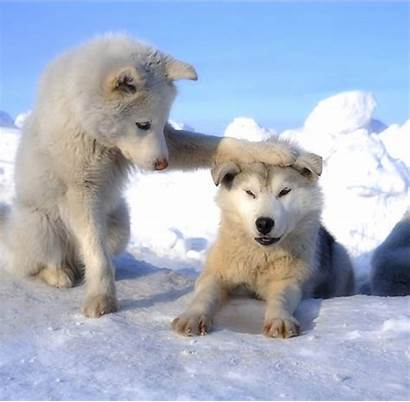 Wolf Funny Friendship Wolves Meme Wolfs Winter