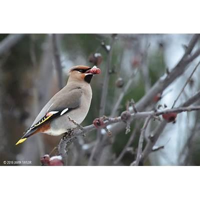 Bohemian Waxwing - BirdWatching