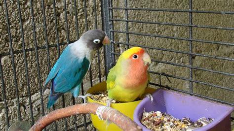 feed  lovebirds youtube