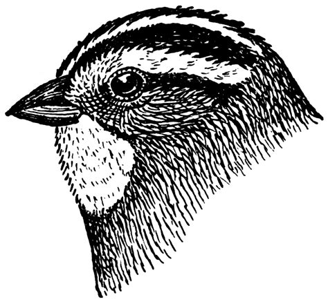 sparrow clipart black and white white throated sparrow clipart etc