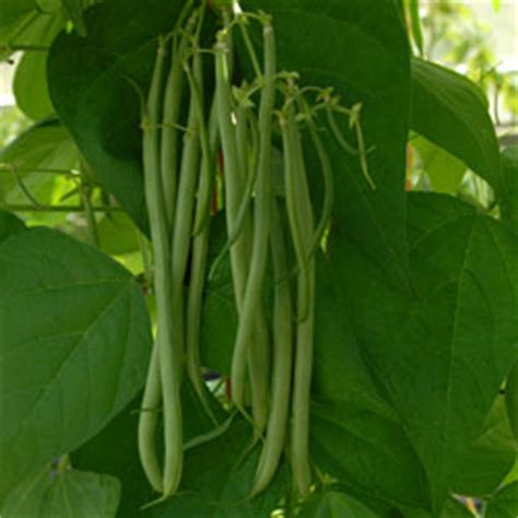 Climbing French Bean Plant 'fasold' (phaseolus Vulgaris