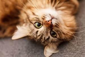 Cat Kidney Problems  U0026 Feline Kidney Disease