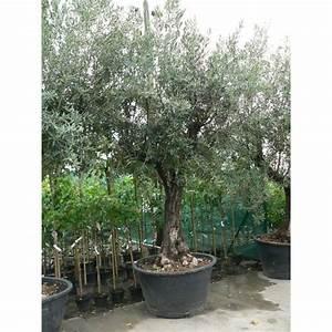 Gros Pot Pour Olivier : vente d 39 olivier ~ Melissatoandfro.com Idées de Décoration