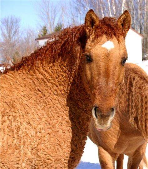 curly horses hair horse bashkir hypoallergenic allergy awesome coat hugged today animals breeds pony coats wild trees season draft any