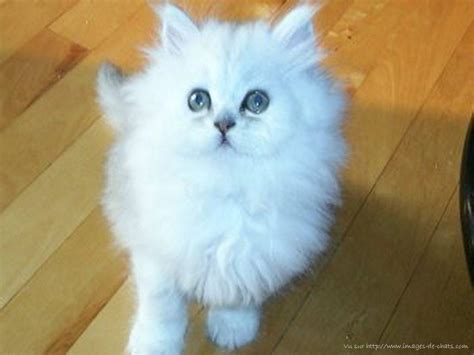 donner un canapé cherche recherche chatte persan blanche ou chatte blanche