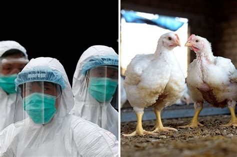 It is the h5n1 strain which is infecting humans and causing high death rates. Bird flu virus: Brit scientists make major breakthrough to stop global epidemic - Daily Star