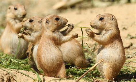 prairie dog basic fact  prairie dogs air