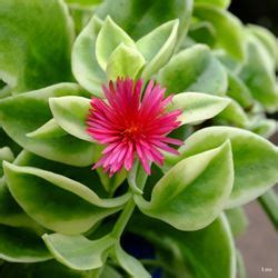 succulent heartleaf ice plant  plants kaw valley