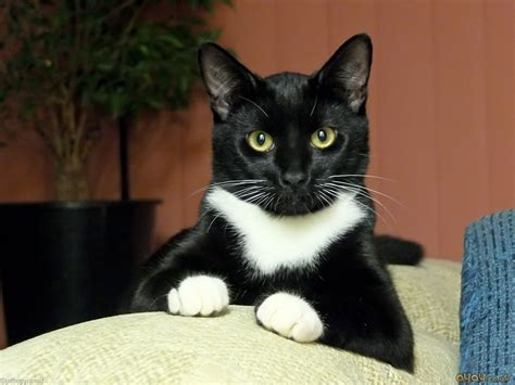 black and white cats tubbs the perky black and white cat cats wallpaper