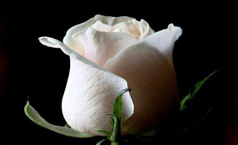 filosofi bunga mawar putih  punya makna tersembunyi