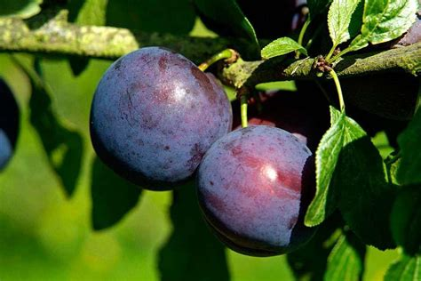 where did plums originate top 28 where did plums originate where do fruit flies come from where do plums come from
