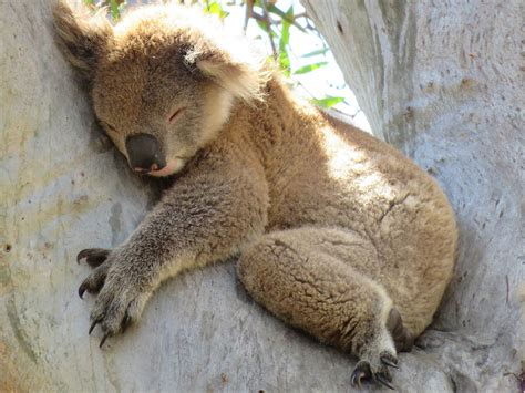 koala nickerchen natur und tierwelt victoria australien
