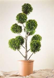 Kugel Trompetenbaum Schneiden Anleitung : gelbe baumzypresse bonsai pompon cupressocyparis ~ Lizthompson.info Haus und Dekorationen