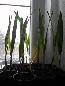 Trachycarpus Fortunei Auspflanzen : meine palmen zucht seite 1 samen anzucht vermehrung ~ Eleganceandgraceweddings.com Haus und Dekorationen