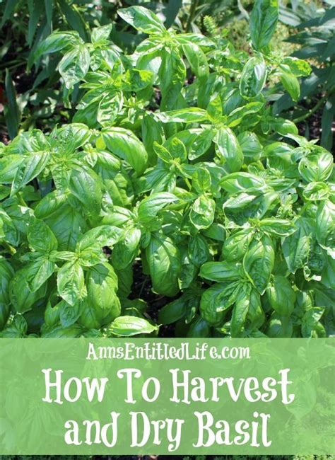 how to harvest herbs how to harvest and dry basil basil is a great herb to grow that can be harvested throughout the