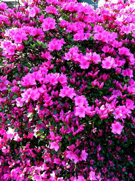 bush with bright pink flowers 58 best azaleas images on pinterest