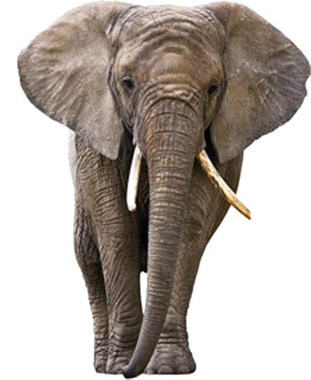elephant tusks png image