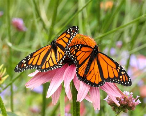 Garten Pflanzen Schmetterlinge by Schmetterlingsfreundliche Pflanzen Die 10 Besten Arten
