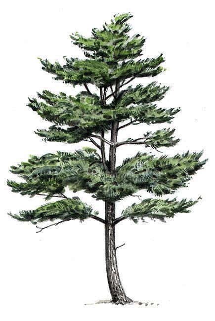 eastern white pine tree drawing google search pine