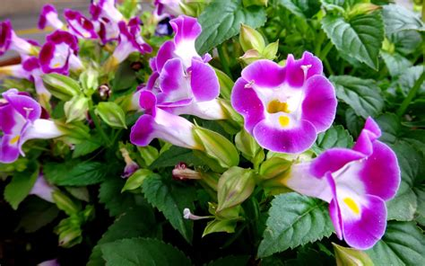 torenia tropical flowers purple white color annual flower