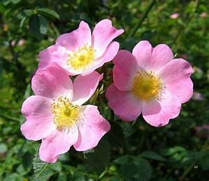 Wild Roses 1 Photograph by Will Borden