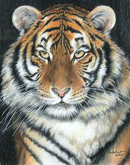 Tiger Colored Pencil Animal Drawings