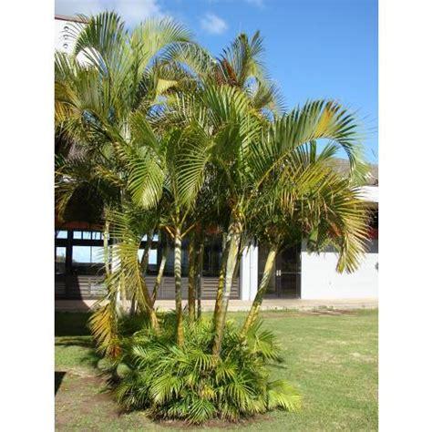 Palmeira Areca - C22 : venda Palmeira Areca - C22 ...