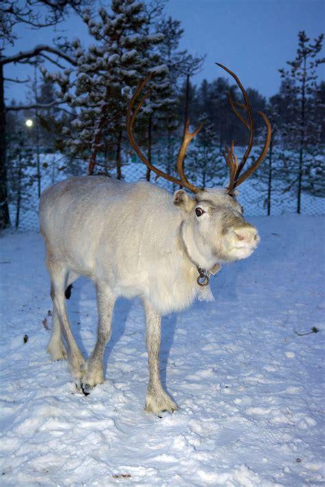 reindeer shed  antlers