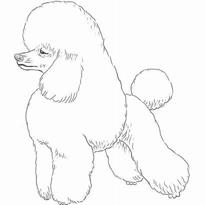 Poodle Dog Drawing Coloring Breeds Toy Dogs
